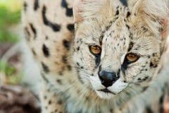 Γάτα Serval στην άγρια Νότια Αφρική Στοκ φωτογραφία με δικαίωμα ελεύθερης χρήσης