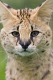 γάτα serval Στοκ Φωτογραφίες