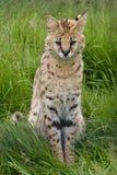 γάτα serval Στοκ φωτογραφία με δικαίωμα ελεύθερης χρήσης