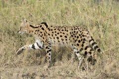 , Γάτα Serval Στοκ Εικόνες