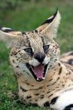 γάτα serval Στοκ Εικόνα