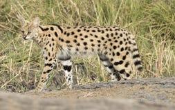 Γάτα Serval Στοκ φωτογραφίες με δικαίωμα ελεύθερης χρήσης