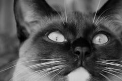 Γάτα Siburdoll Στοκ εικόνα με δικαίωμα ελεύθερης χρήσης