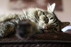 Γάτα Snoozing Στοκ Εικόνες