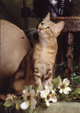 Γάτα Sokoke Στοκ εικόνες με δικαίωμα ελεύθερης χρήσης