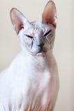 Γάτα Sphinx που εξετάζει τη κάμερα στοκ εικόνα