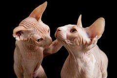 Γάτα Sphinx Στοκ εικόνες με δικαίωμα ελεύθερης χρήσης
