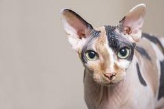 Γάτα Sphynx καφετιά αγάπη απεικόνισης καρδιών γατών Πορτρέτο μιας φυλής γατών sphynx στοκ φωτογραφίες