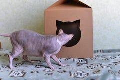 Γάτα Sphynx που εξετάζει το σπίτι στοκ εικόνες