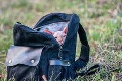 Γάτα Sphynx σε ένα σακίδιο πλάτης στοκ φωτογραφία με δικαίωμα ελεύθερης χρήσης