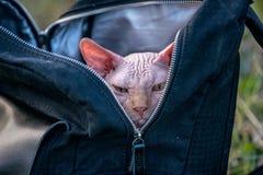 Γάτα Sphynx σε ένα σακίδιο πλάτης στοκ φωτογραφία