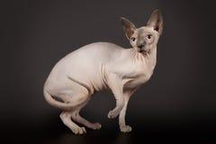 Γάτα Sphynx στο μαύρο υπόβαθρο στούντιο Στοκ Εικόνες