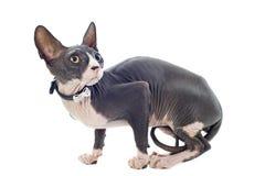 Γάτα Sphynx στοκ εικόνα με δικαίωμα ελεύθερης χρήσης