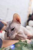 Γάτα Sphynx στοκ εικόνα