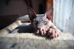 Γάτα Sphynx Στοκ εικόνες με δικαίωμα ελεύθερης χρήσης