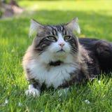 Γάτα Tigray Στοκ Εικόνες
