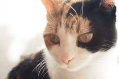 Γάτα Tricolor, θερμός τόνος στοκ εικόνες με δικαίωμα ελεύθερης χρήσης