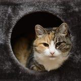 Γάτα Tricolor που κρυφοκοιτάζει από το κιβώτιο γατών στοκ φωτογραφία με δικαίωμα ελεύθερης χρήσης