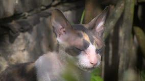 Γάτα Tricolor στην ημέρα sammer απόθεμα βίντεο