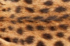 Γάτα Wilde, serval σύσταση σχεδίων γουνών Κλείστε επάνω το μαλακό φυσικό υπόβαθρο εστίασης Στοκ φωτογραφίες με δικαίωμα ελεύθερης χρήσης