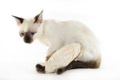 γάτα witn ένα σπασμένο πόδι σε ένα άσπρο υπόβαθρο Στοκ Φωτογραφίες