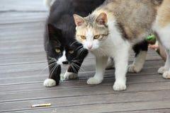Γάτες αδελφών Στοκ εικόνες με δικαίωμα ελεύθερης χρήσης