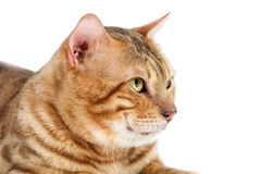 γάτες διασταύρωσης της Βεγγάλης Στοκ Εικόνες