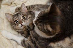 γάτες δύο Στοκ Εικόνες