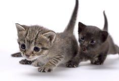 γάτες δύο στοκ εικόνα