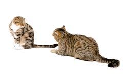 Γάτες ερωτοτροπίας στοκ εικόνες