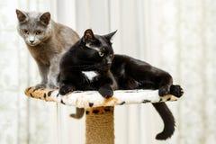 γάτες εσωτερικά δύο μαύρος γκρίζος Στοκ Φωτογραφίες