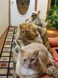 Γάτες και σκυλί στοκ φωτογραφίες με δικαίωμα ελεύθερης χρήσης