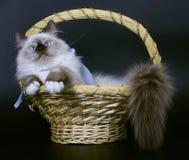 γάτες καλαθιών Στοκ Εικόνα