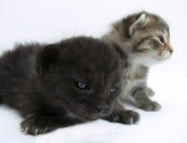 γάτες μικρές Στοκ Εικόνες