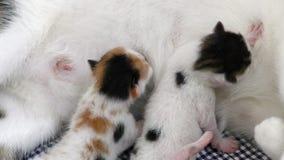 Γάτες μωρών γατακιών που ταΐζουν από το στήθος μητέρων απόθεμα βίντεο