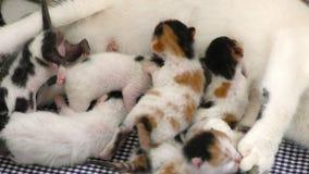 Γάτες μωρών γατακιών που ταΐζουν από το στήθος μητέρων φιλμ μικρού μήκους