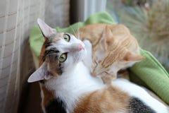 γάτες νυσταλέες Στοκ φωτογραφία με δικαίωμα ελεύθερης χρήσης