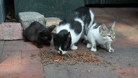 Γάτες οδών αλεών που τρώνε τα τρόφιμα γατών απόθεμα βίντεο