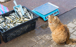 Γάτες οδών που περιμένουν το fishe Στοκ φωτογραφίες με δικαίωμα ελεύθερης χρήσης