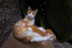 Γάτες οδών στο Μαρόκο, Essaouira sity Πορτρέτο οδών της γάτας με πολλά γατάκια Στοκ εικόνα με δικαίωμα ελεύθερης χρήσης