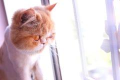 γάτες περσικές Στοκ Φωτογραφίες