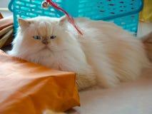 γάτες περσικές στοκ εικόνα