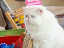 γάτες περσικές στοκ εικόνα με δικαίωμα ελεύθερης χρήσης