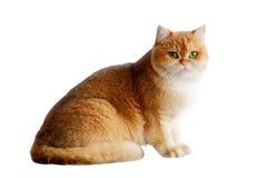 Γάτες που απομονώνονται Στοκ Εικόνες