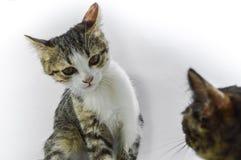 Γάτες που επικοινωνούν μαζί, εστίαση στην άσπρη γκρίζα γάτα Άσπρη ανασκόπηση Στοκ εικόνα με δικαίωμα ελεύθερης χρήσης