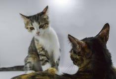 Γάτες που επικοινωνούν μαζί, εστίαση στη σκούρο παρτοκαλί γάτα Άσπρη ανασκόπηση Στοκ φωτογραφία με δικαίωμα ελεύθερης χρήσης
