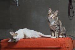 Γάτες που κάθονται στο γρατσουνισμένο πορτοκαλή καναπέ υφάσματος Στοκ φωτογραφία με δικαίωμα ελεύθερης χρήσης