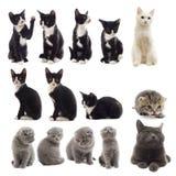 γάτες που τίθενται Στοκ Εικόνες