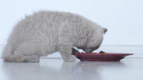 Γάτες που τρώνε τα τρόφιμα κατοικίδιων ζώων απόθεμα βίντεο