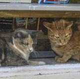 Γάτες σε ένα παράθυρο βιβλιοπωλείων Στοκ εικόνα με δικαίωμα ελεύθερης χρήσης